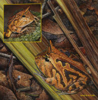 Amazon Horned Frogs