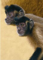 Capuchin Monkeys Study
