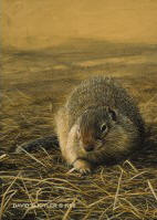 Ground Squirrel Study