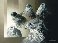 Gyrfalcon - Five Poses
