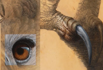 "Detail of ""Harpy Eagle Montage"""