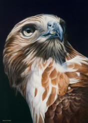 Larger than Life - Red-Tailed Hawk