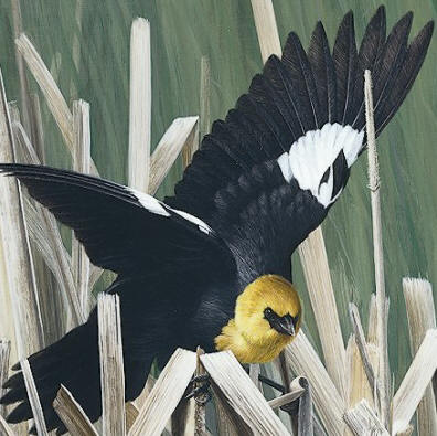 "Detail of ""Spring Suitor - Yellow-Headed Blackbird"""